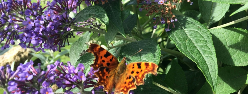Comma butterfly, Weston Town