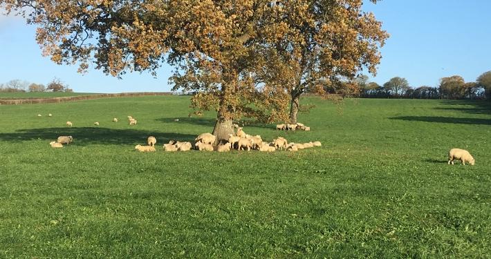 Sheep, Long Lane