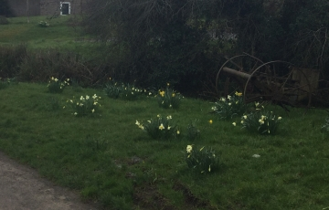 Daffodils in Wanstrow